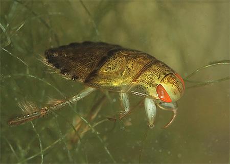Плавт обыкновенный (Hiocoris cimicoides)