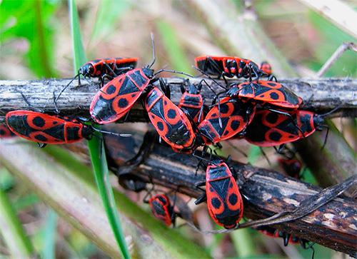 Клопы солдатики (Pyrrhocoris apterus)