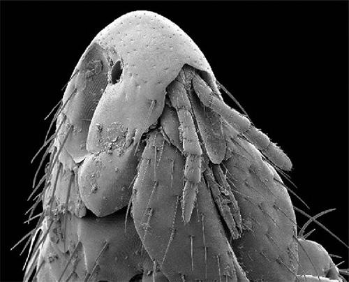 Кошачья блоха под электронным микроскопом