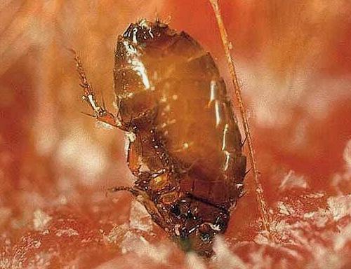 При укусе блоха может вгрызаться в кожу