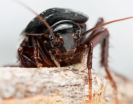 Фото черного таракана крупным планом