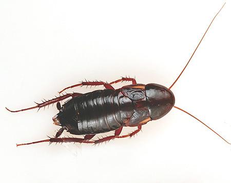 Крупная самка черного таракана
