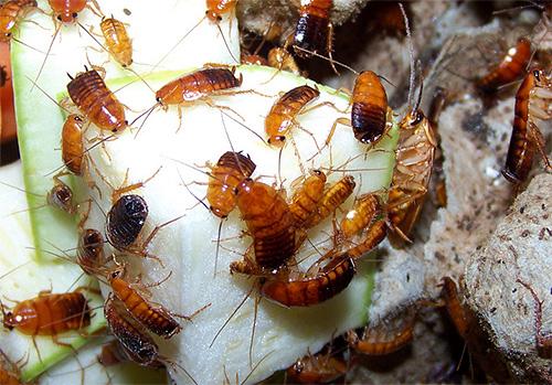 Фото туркменских тараканов