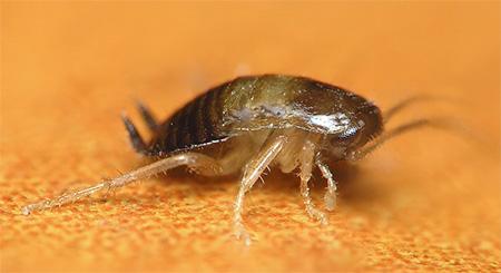 Еще одно фото личинки домашнего таракана