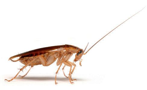 Рыжий домашний таракан