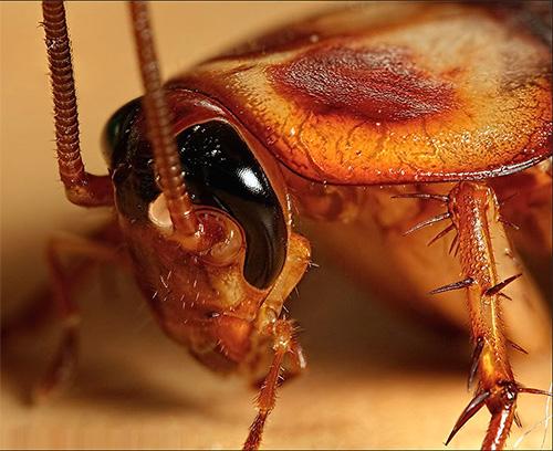 Если приснился большой таракан...