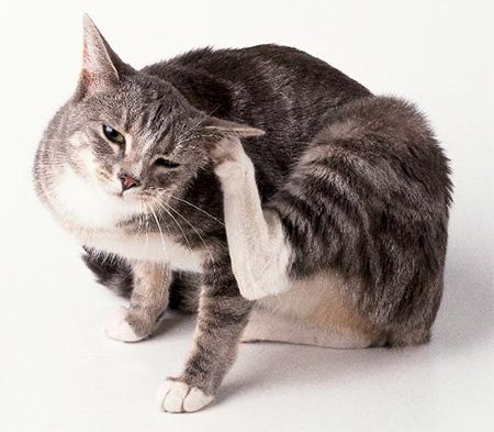 Выводим блох у кошки в домашних условиях