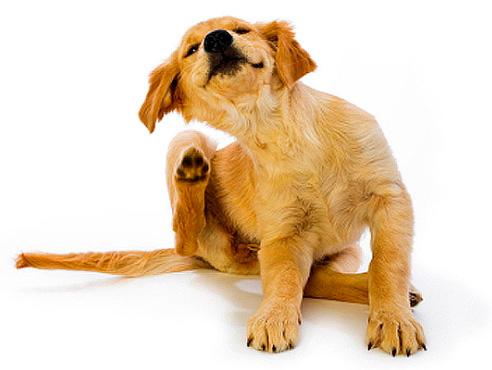 Выводим блох у собаки