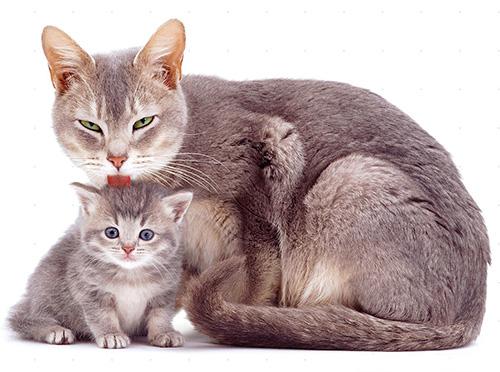 Капли от блох позволяют быстро избавить от паразитов кошек и котят