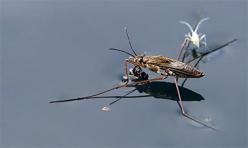 Водомерка поймала муху