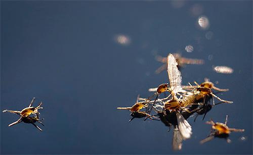 Личинки водомерки