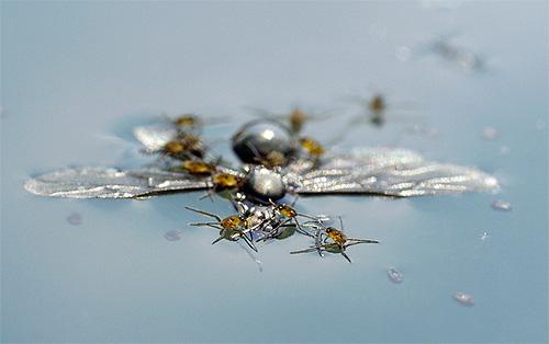 Личинки водомерки питаются той же пищей, что и взрослые особи