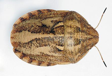 Фото: клоп вредная черепашка (Eurygaster integriceps)