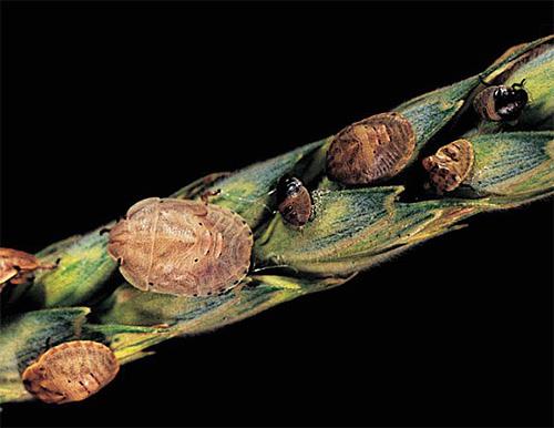Клоп вредная черепашка: личинки и взрослые особи