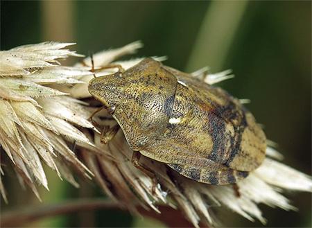 При питании клоп черепашка вводит в растение специальный фермент