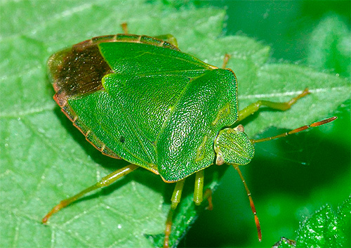 Тело зеленого клопа имеет характерную угловатую форму в области груди