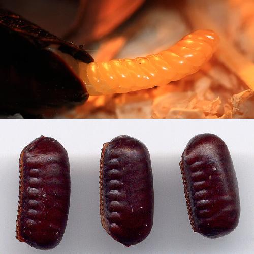 Оотеки мадагаскарского и черного тараканов