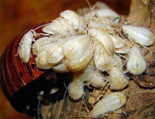 Некоторое время после родов личинки держатся около матери и никуда не расползаются