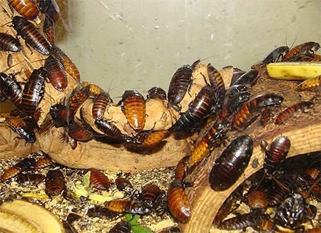 Мадагаскарских шипящих тараканов легко содержать в домашних условиях