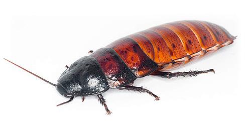 Фото самки мадагаскарского таракана