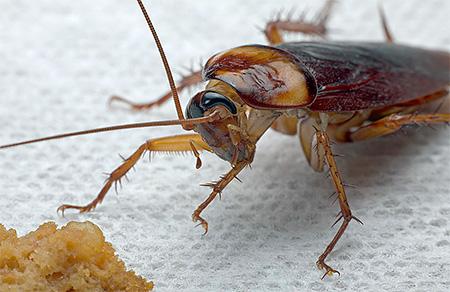 Для нормальной жизни тараканам нужна легко доступная еда