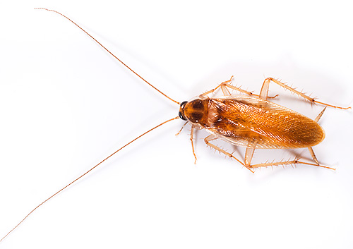 Рыжий таракан (Blattella germanica или прусак)