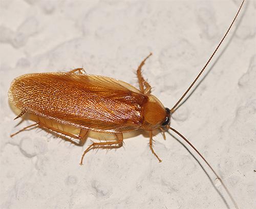 Значительную часть тела рыжего таракана закрывают крылья