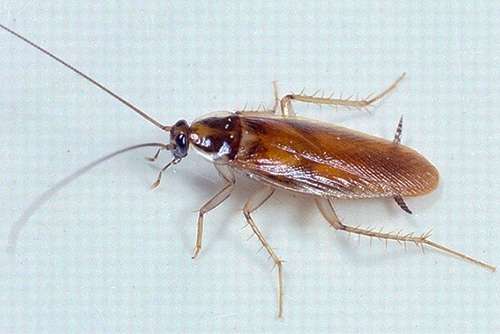 На конце тела таракана видны характерные выросты - церки
