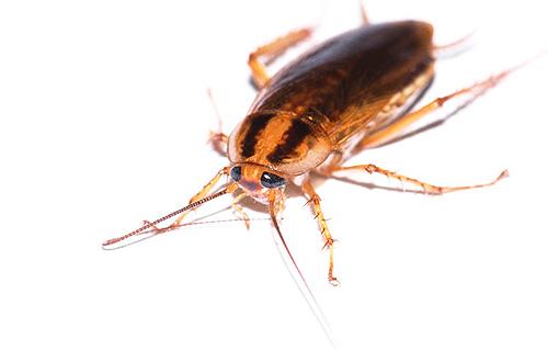 Знакомимся со средством от тараканов Глобал (Globol)