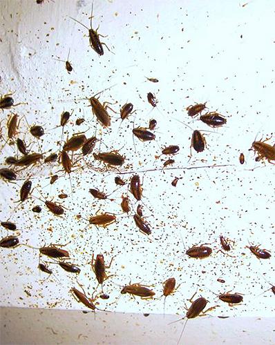 Зараженный гелем Глобал таракан способен отравить множество своих собратьев