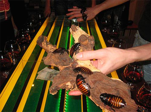 Обычно в тараканьих бегах участвуют мадагаскарские тараканы