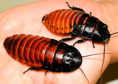 Мадагаскарский шипящий таракан (Gromphadorrhina portentosa)