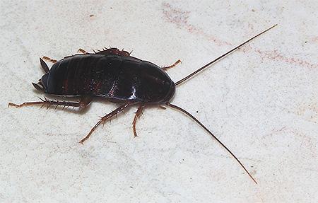 Фото черного таракана (Blatta orientalis)
