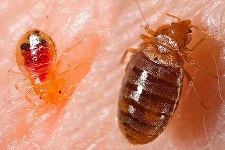 Фото: личинка клопа и взрослая особь пьют кровь