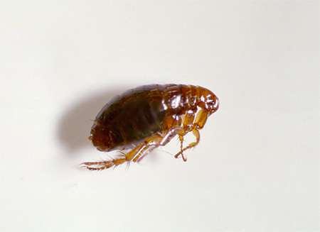 Блохи - весьма интересные насекомые