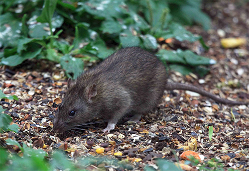 Крысы являются переносчиками блох а вместе с ними - и опасных заболеваний человека