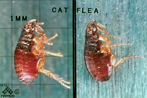 Фотография кошачьей блохи под микроскопом