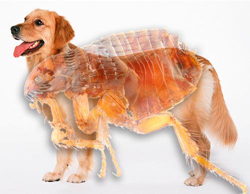 Знакомимся с тем, как выглядят блохи у собак и насколько они могут быть опасны