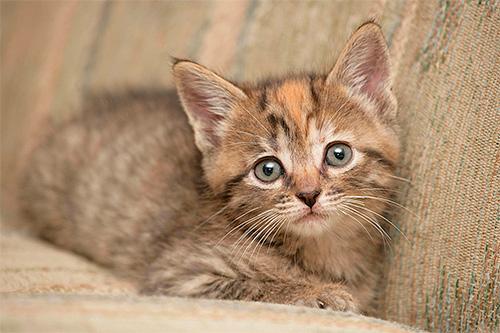 Важно не просто вывести блох у котенка, а сделать это максимально безопасно для малыша