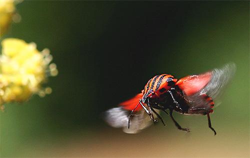 Итальянский клоп может летать благодаря задним крылышкам