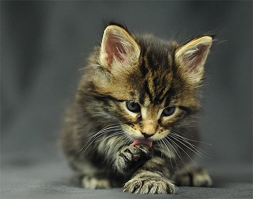 Для кошек и котят слизывание яда с поверхностей может быть весьма опасным