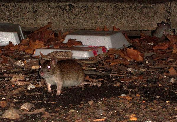 Блохи способны паразитировать на крысах и мышах, вместе с ними проникая и в жилье человека.