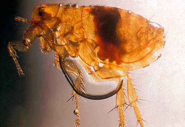 Так выглядит крысиная блоха под микроскопом
