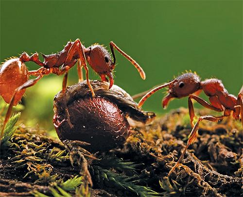 Мощные челюсти муравьев-жнецов перемелют в кашицу даже очень жесткие семена