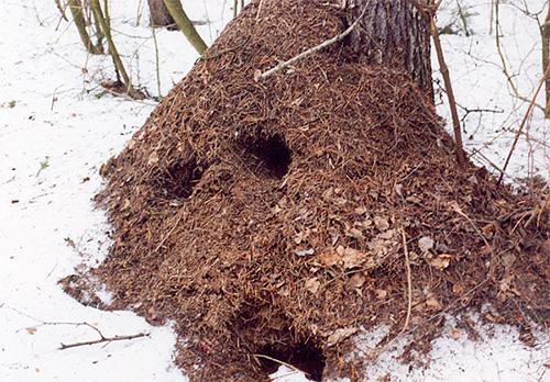 Зимой муравейник выглядит пустым, но внутри него продолжается жизнь
