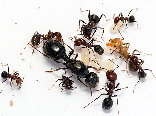 ДЭТА - одно из самых известных средств для борьбы с муравьями