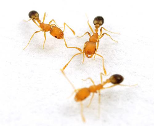 Рабочие особи фараоновых муравьев