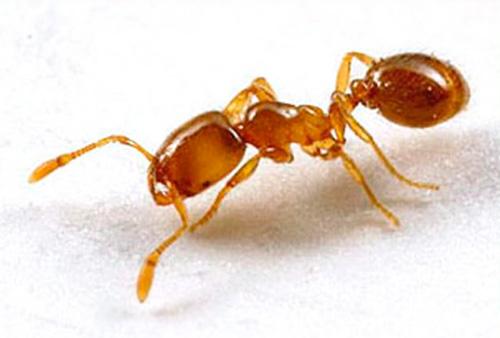 Фараоновы муравьи являются теплолюбивыми насекомыми