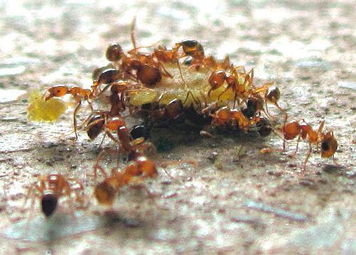 Фараонов муравей всеяден