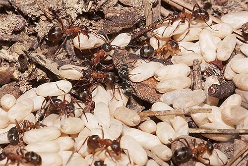 Муравьи-амазонки часто нападают на других муравьев и воруют их личинок